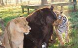 """Tình bạn 18 năm của hổ, gấu và sư tử """"đốn tim"""" cư dân mạng khắp thế giới"""