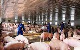 Sẽ sửa đổi mức hỗ trợ người chăn nuôi lợn bị thiệt hại do dịch tả lợn châu Phi