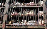 Kiểm soát chặt dịch tả lợn châu Phi vào Lào Cai
