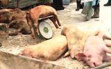 Ðã có 18 địa phương trên cả nước xuất hiện dịch tả lợn châu Phi