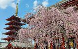 Những bức ảnh tuyệt đẹp về mùa hoa anh đào Nhật Bản 2019