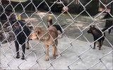 Chó cắn chết người: Báo động ý thức chấp hành và thực thi pháp luật