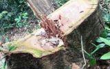Khởi tố vụ phá rừng nghiêm trọng tại Vườn quốc gia Phong Nha- Kẻ Bàng