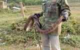 """Xác minh thông tin người đàn ông tay không bắt rắn hổ mang """"khủng"""" gần 10kg, dài 2 mét ở Sơn La"""