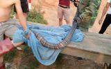 Thực hư thông tin người đàn ông tay không bắt hổ mang chúa cực độc nặng 10kg ở Sơn La