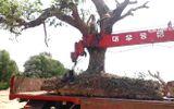 """Cây cổ thụ rừng bị đào về làm cảnh trong nhà """"đại gia"""""""