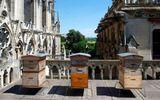 Gần 200.000 chú ong sống sót kì diệu sau vụ cháy Nhà thờ Đức Bà Paris