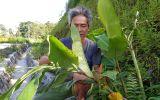 Tìm ra hoạt chất ngăn ngừa bệnh viêm đại tràng từ cây Ngải Tiên