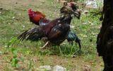 Vụ nổ súng bắn người trọng thương tại trường gà: Các đối tượng ra đầu thủ