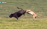 Video: Sư tử nhận kết đắng khi rình đằng sau rập trâu rừng