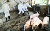 Dịch tả lợn châu Phi đã xuất hiện ở miền Tây