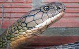 """Cận cảnh cặp rắn """"khủng"""" nặng 60 kg, dài hơn 6 mét ở An Giang"""