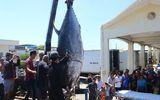 """Ngư dân Phú Yên câu được cá ngừ vây xanh """"siêu khủng"""" nặng 367kg"""