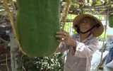 Kinh doanh - Cận cảnh vườn bí đao khổng lồ nặng 60kg/quả mở cửa đón khách tham quan