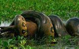 Video: Trăn anaconda siết chết con chuột khổng lồ nặng 50kg