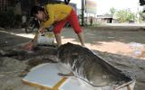 Đắk Lắk: Người dân bắt được cá lăng đuôi đỏ nặng 85kg cực hiếm trên sông Sêrêpốk