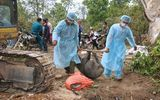 Sơn La tiêu hủy hơn 5.200 con lợn mắc dịch tả châu Phi