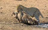 Video: Cận cảnh đàn báo săn hạ gục lợn rừng trong nháy mắt