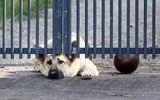 Cảm động chú chó buồn bã nằm ở cổng chờ đợi người chủ đã qua đời trở về
