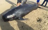 Bất ngờ phát hiện cá voi dài 4m, nặng gần 1 tấn trôi dạt vào bờ biển Hà Tĩnh