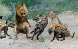 Video-Hot - Video: Chiến thắng vinh quang 3 sư tử đực bị 30 con linh cẩu bao vây