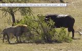 Video: Bị trâu rừng tấn công cả bầy sư tử nằm im không giám nhúc nhích