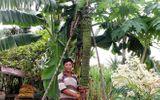 """Video-Hot - Video: Chiêm ngưỡng cây chuối """"khổng lồ"""" có hơn 100 nải"""