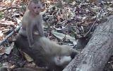 Video-Hot - Khỉ mẹ chết vì nắng nóng, khỉ con ngồi cạnh cố lay xác mẹ suốt nhiều giờ