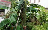 """Ăn - Chơi - Chiêm ngưỡng những buồng chuối khủng """"siêu"""" trái của nhà nông Việt"""