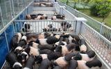 Đời sống - Doanh nghiệp nuôi lợn sang chảnh cho công nhân lao động ăn