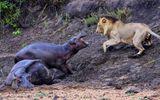 """Video: Hà mã con """"đại chiến"""" với sư tử đực để bảo vệ mẹ đang bị chấn thương"""