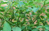 5 loại rau dại bình thường ở Việt Nam nhưng là thần dược được săn đón ở nước ngoài