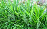 Các loại lá cây chữa bệnh tiểu đường hiệu quả