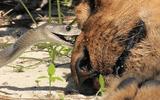 Video: Sư tử đực chết thảm vì trúng nọc độc của rắn mamba đen
