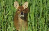 Video: Loài hươu không sừng, có răng nanh kỳ dị chìa ra khỏi miệng