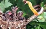 Video: Nhân lúc chim mẹ đi vắng, rắn độc tấn công bầy con non