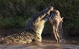 Video: Đàn cá sấu chờ sẵn, tấn công bầy ngựa vằn vượt sông