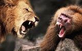 """Video: Khỉ đầu chó và những """"vũ khí"""" khiến đối thủ kinh hồn bạt vía"""