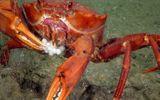 Video-Hot - Video: Cua ngấu nghiến ăn gọn ổ trứng cá bống biển