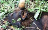 Bò tót gần 800 kg chết trong khu bảo tồn là do tuổi già, có dấu hiệu mắc bệnh phổi
