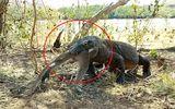 Video: Rồng komodo thể hiện uy lực, nuốt chửng khỉ lớn trong vòng nửa phút