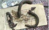 Bợm nhậu lao vào cắn nát rắn độc để trả thù việc bị tấn công