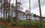 Khởi tố cán bộ ngân hàng thuê người đầu độc rừng thông để chiếm đất
