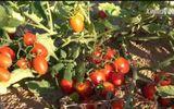 Kỳ tích của Trung Quốc khi biến cát sa mạc thành đất trồng cà chua, dưa hấu