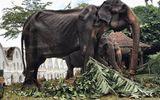 Đời sống - Xót xa hình ảnh con voi 70 tuổi gầy trơ xương trong lễ hội