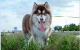 Xã hội - Bệnh care ở chó - Câu chuyện hồi phục thần kỳ của cún con Alaska may mắn