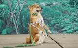 """Tin tức giải trí - Chú chó Nhật trúng tuyển phim """"Cậu Vàng"""" có đặc điểm gì nổi bật?"""