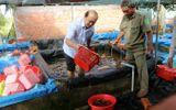 Tiêu hủy 7.000 con tôm hùm đất càng đỏ ở Long An