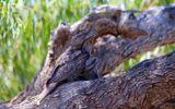 Video: Con cú miệng ếch tinh ranh giả làm cành cây rồi đánh úp con mồi
