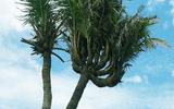 Kỳ lạ cây dừa 14 ngọn ở Đất Mũi được trả giá 300 triệu đồng